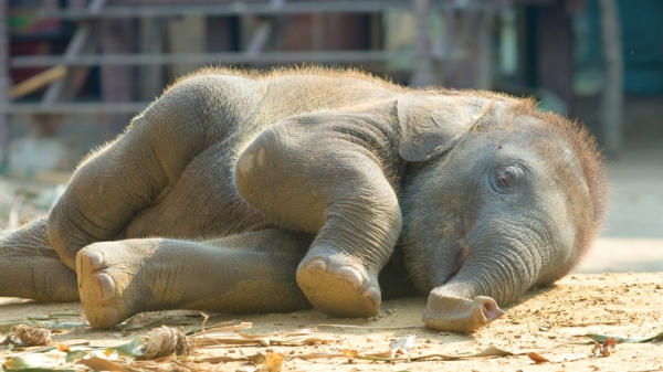 I toyed with the idea of putting a photo of the coffee-makers extracting elephant dung but then decided on this sleepy baby elephant instead. Awwwww.