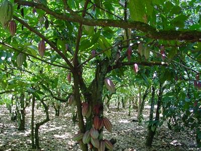 the cacao tree, courtesy thestoryofchocolate.com