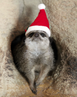 I googled 'meerkat in a santa hat' and the internet spat this out