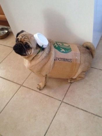 pugs, why is it always pugs with the best costumes?