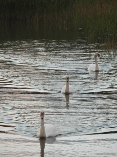 three swans, coming right at me, in Emo, County Laois. Yes, I was scared.